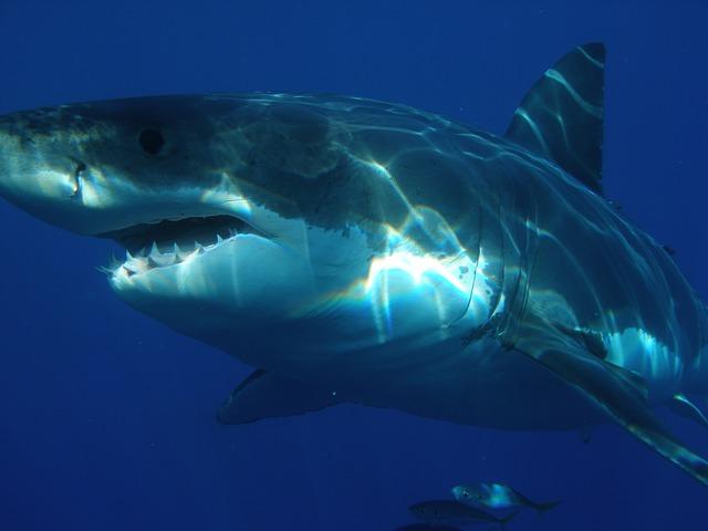 Veľký biely žralok.jpg