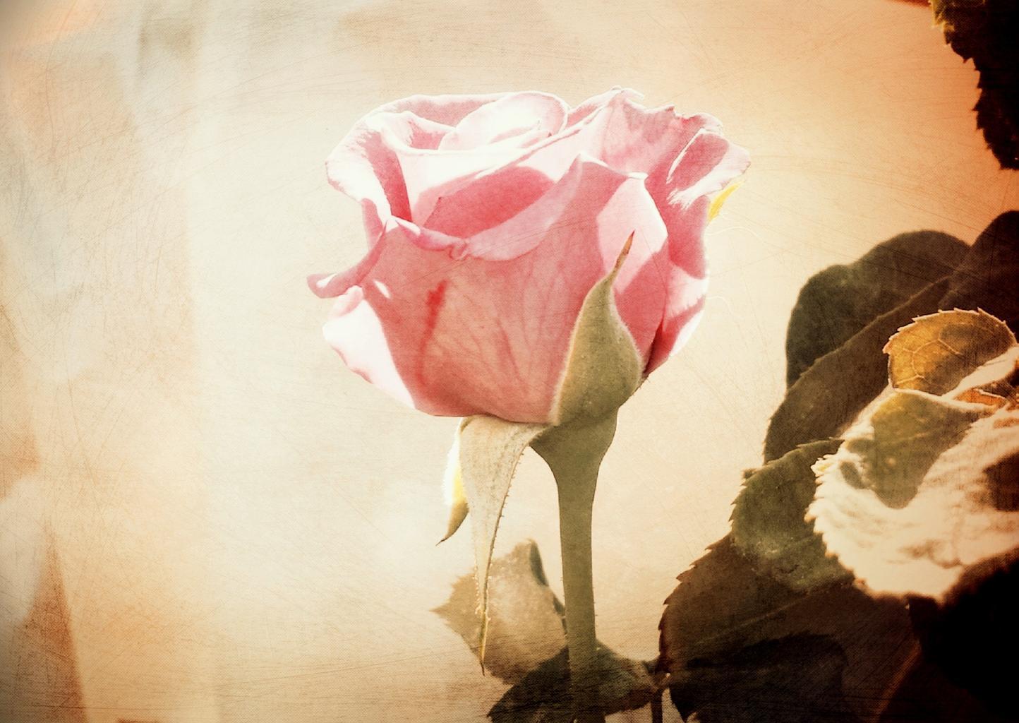 svadobná ruža